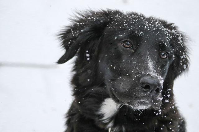 černý pes ve sněhu
